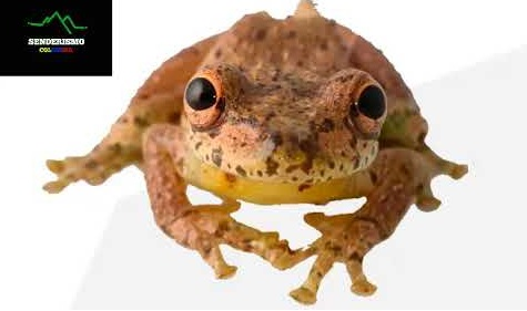 rana Scinax caprarius