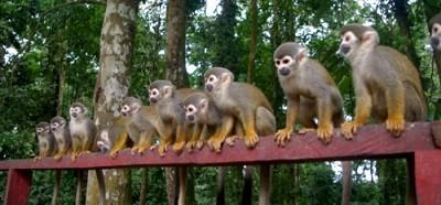 isla-de-los-micos-turismo-en-amazonas