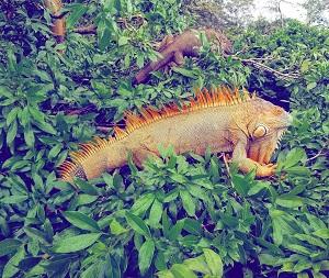 las-iguanas-giron